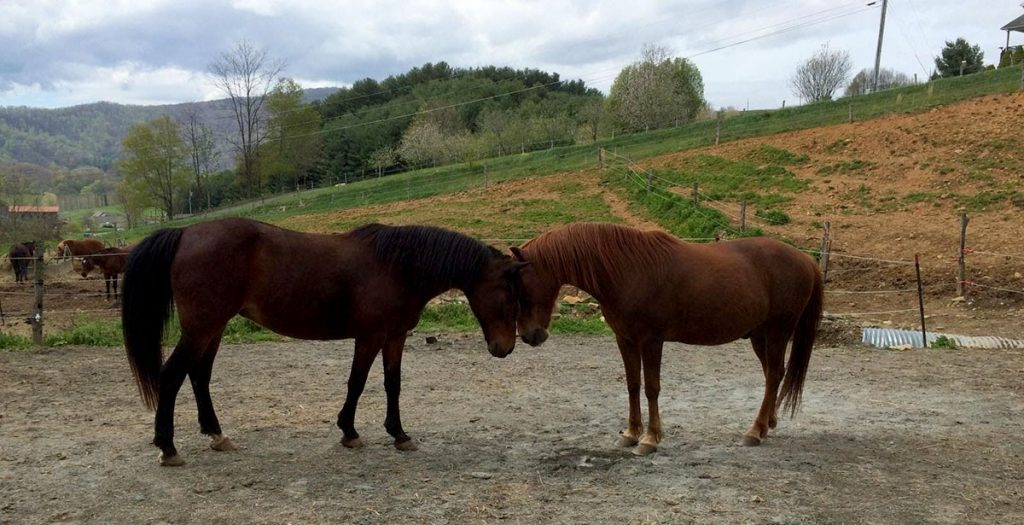 Horses, Nose to Nose
